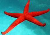 star-fish2